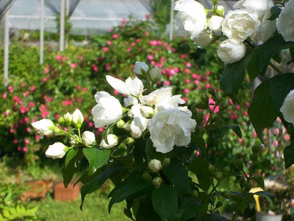 Arbusti fioriti il roseto for Arbusto dai fiori rosa e bianchi