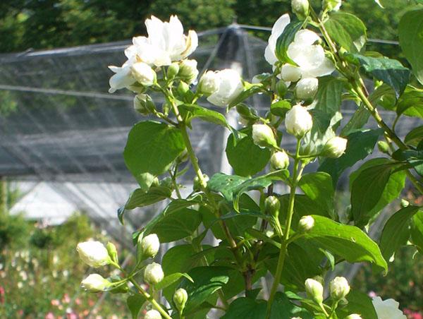 arbusti fioriti il roseto