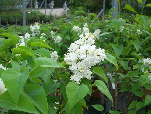 Arbusti fioriti da giardino idee per la casa for Arbusti fioriti perenni