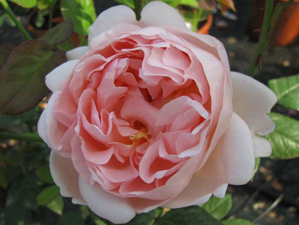 Rose rose inglesi il roseto for Rose inglesi