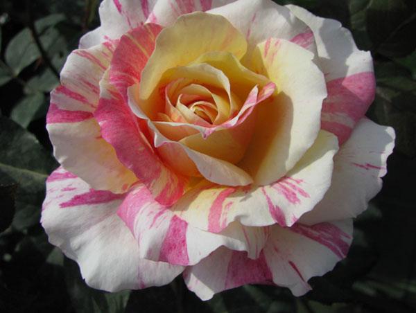 Rose - Ibridi di Tea - Il Roseto